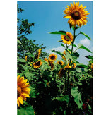 Load image into Gallery viewer, 500 Piece Puzzle for Adults Family Entertainment Intellectual Fun Game - Blooming Sunflowers