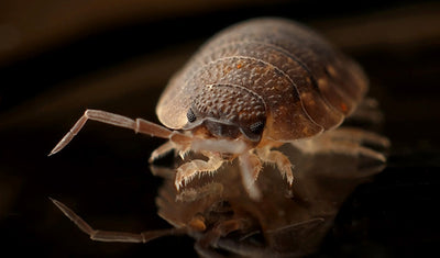 Bed Bug Steamer: How to Kill Bed Bugs With Steam