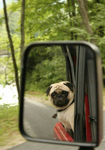 How To Travel With a Pug