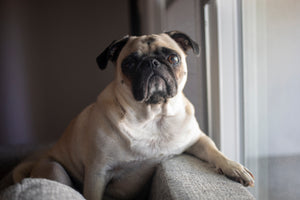Facts about Pugs -