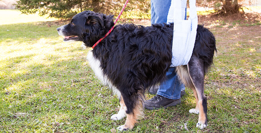 Bernese mountain dog walking with a sling in a park recovering from TPLO surgery