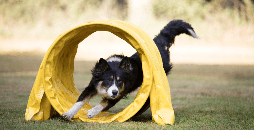 Dog running into a yellow agility tunnel