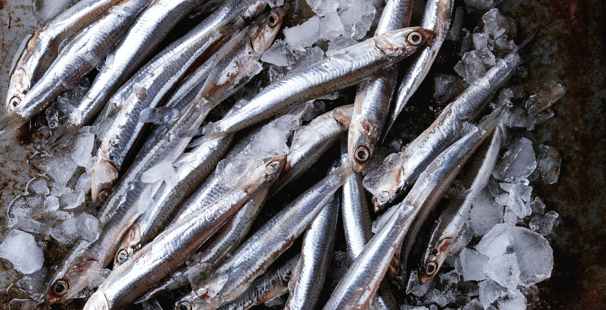 Anchovies sitting on ice