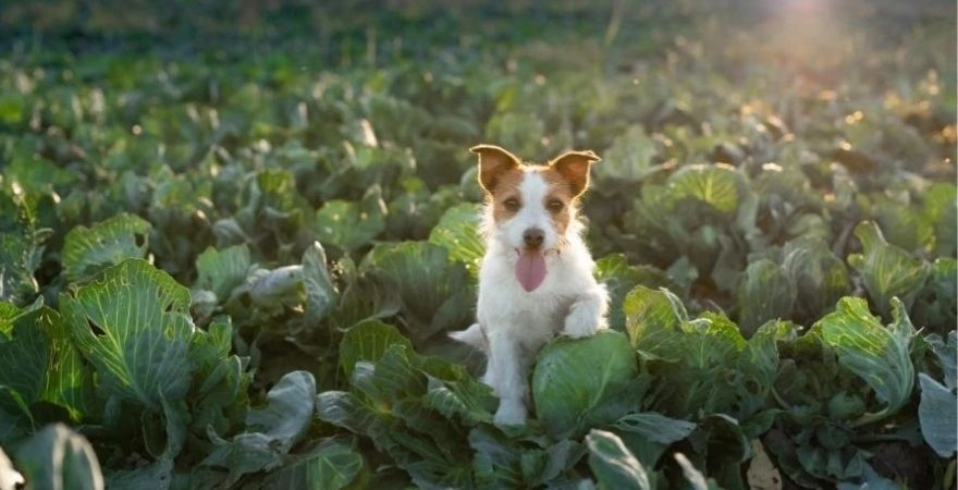 Dog surrounded by cabbages