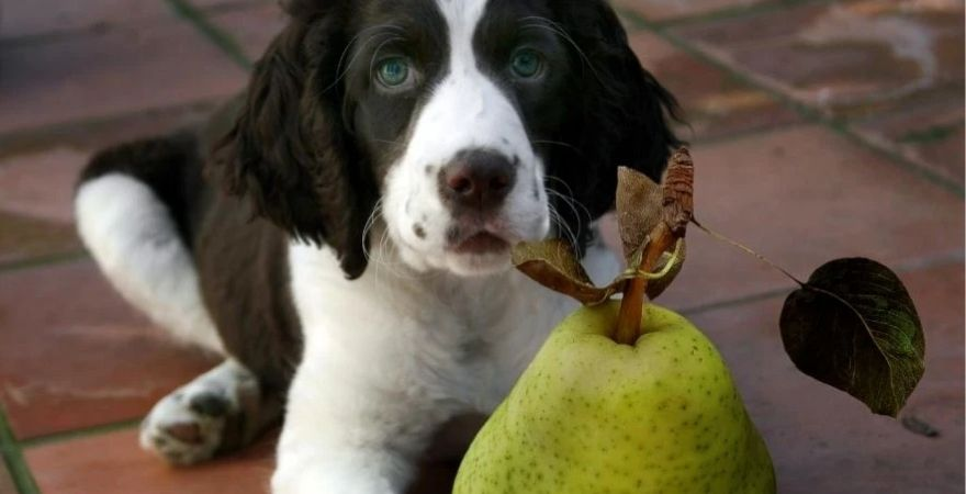 Puppy looking up at a pear