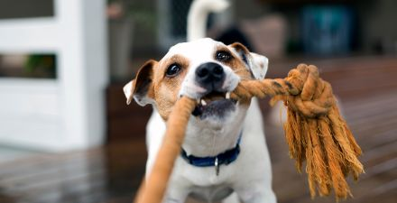 Small dog playing with rope toy