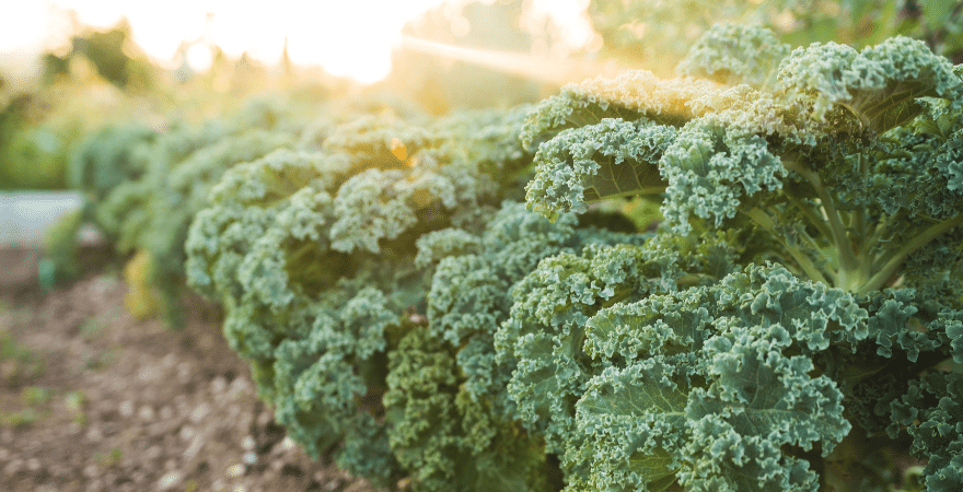 A row of kale growing in an outdoor garden