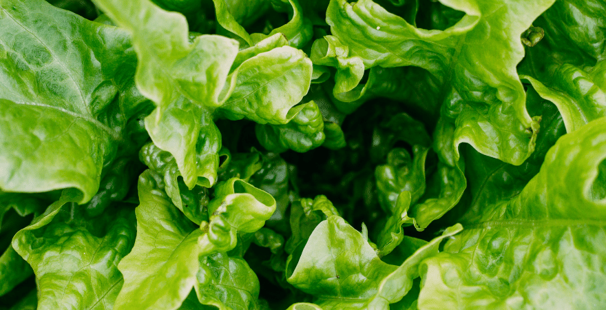 A heart of romaine lettuce