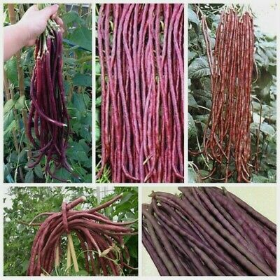 Thai Purple Podded Bean - Going Off Grid
