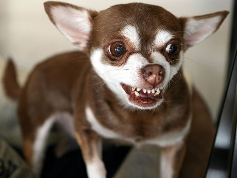 Poisoned Chihuahua