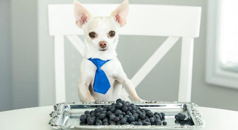 Can Chihuahuas Eat Blueberries