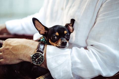 My Chihuahua Got Anxious What Should I Do