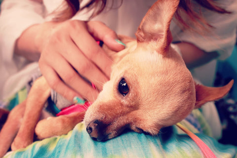 How To Choose The Right Vet For Your Chihuahua Chihuahua Empire Blog