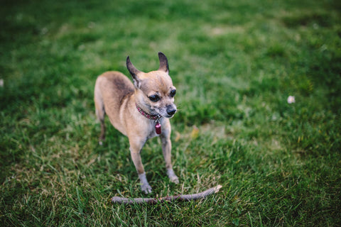 Rescued Chihuahua Playing Chihuahua Empire Blog