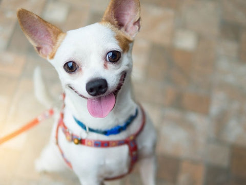 Excited Chihuahua Smiling