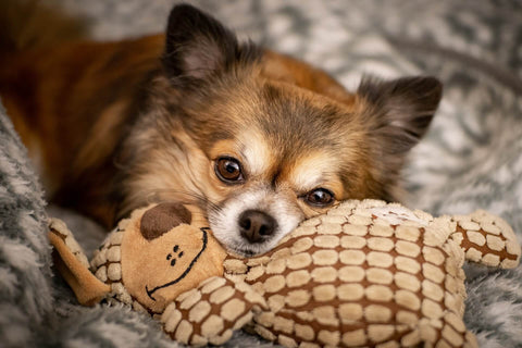 Happy Chihuahua With Dog Toy Chihuahua Empire Blog