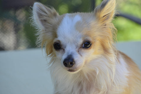 How Much Does Chihuahua Puppy Cost Chihuahua Empire Blog