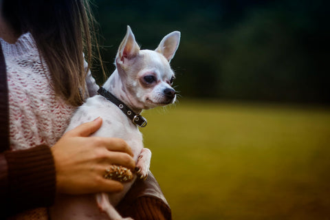How Owners Cause Separation Anxiety In Chihuahuas Chihuahua Empire Blog