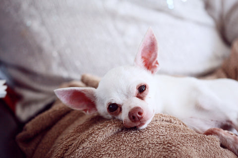 How To Prepare Your Chihuahua For A Baby Chihuahua Empire Blog