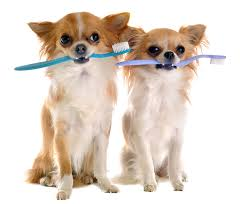 Dealing With Tartar And Plaque In Chihuahuas