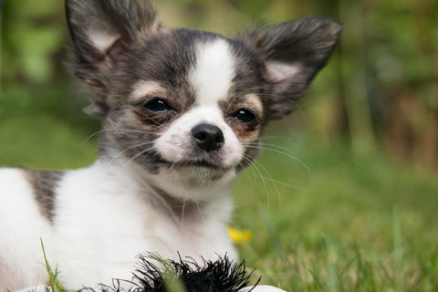 Do Chihuahuas Eat Insects Chihuahua Empire Blog