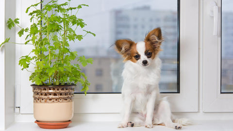 Poisonous Plants For Chihuahua