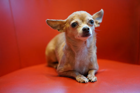 Preparing My Chihuahua For The Baby Arrival Chihuahua Empire Blog