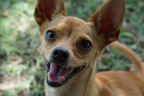 Preparing Your Chihuahua For A Baby