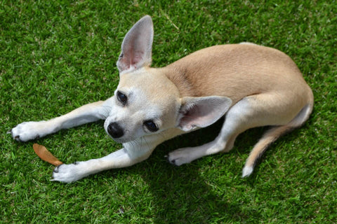 Stop Your Chihuahua From Eating Grass Chihuahua Empire Blog