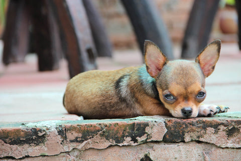 What Is The Standard Price For A Chihuahua Puppy Chihuahua Empire Blog