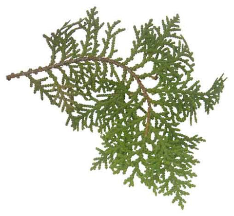 Cypress Essential Oil (Morocco)