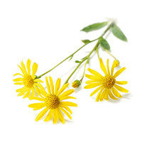 Arnica Herb Oil - Sunrise Botanics