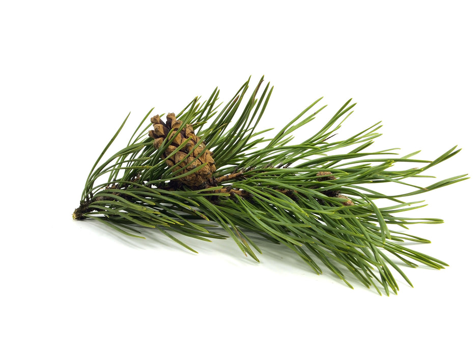 Fir Needle Siberian Essential Oil - Sunrise Botanics