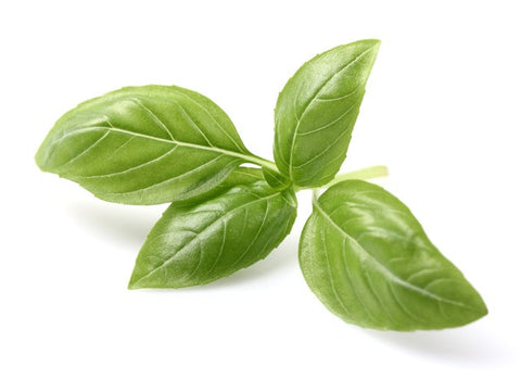 Basil Sweet Essential Oil (India) - Sunrise Botanics
