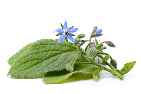 Borage Carrier Oil (China) - Sunrise Botanics