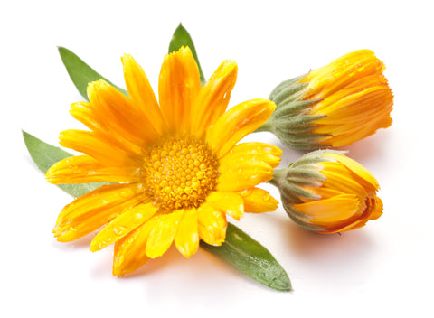 Calendula Oil - Sunrise Botanics
