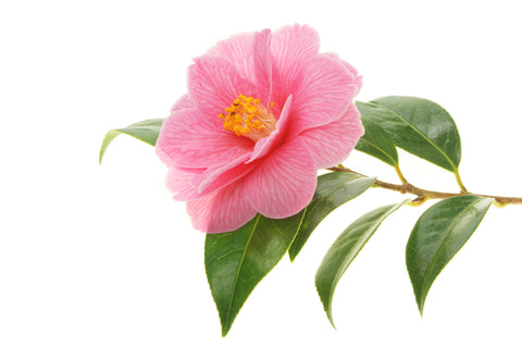 Camellia Seed Carrier Oil - Sunrise Botanics