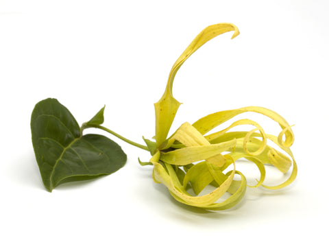 Ylang Ylang #3 Essential Oil - Sunrise Botanics