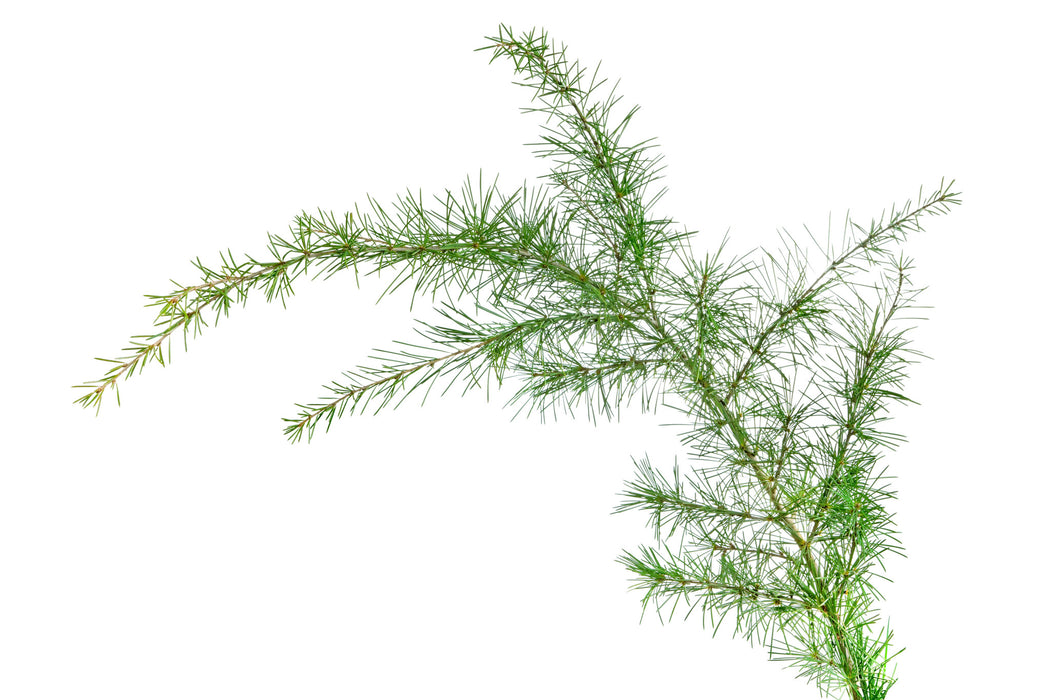 Cedar Leaf (Eastern) Essential Oil - Sunrise Botanics