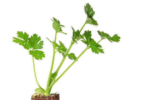 Celery Seed Essential Oil - Sunrise Botanics