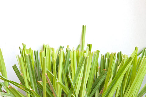 Citronella (Java) Essential Oil - Sunrise Botanics