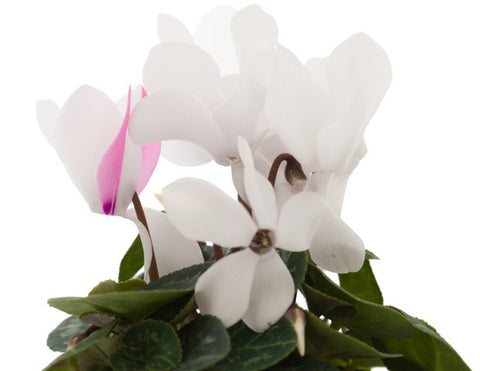 Cyclamen Absolute