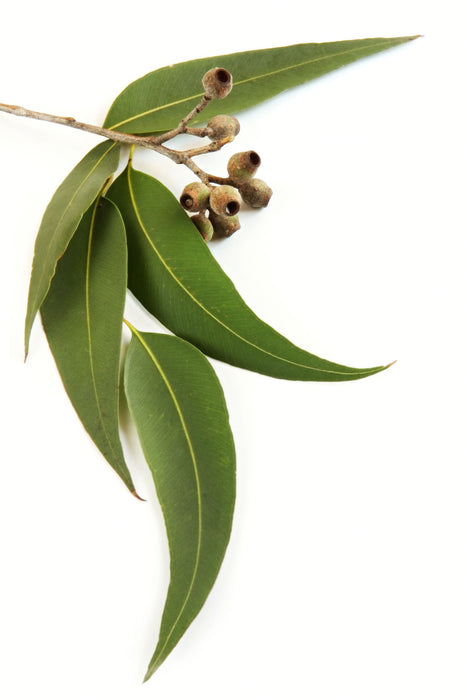Eucalyptus Red Organic Essential Oil - Sunrise Botanics