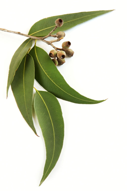 Eucalyptus Lemon Essential Oil (India) - Sunrise Botanics