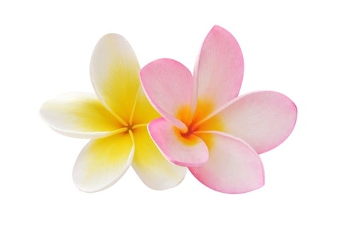 Plumeria Fragrance Oil - Sunrise Botanics
