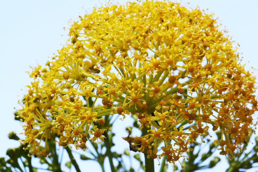 Galbanum Essential Oil (France) - Sunrise Botanics