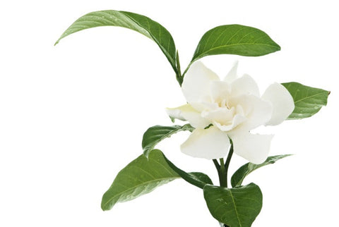 Gardenia Absolute - Sunrise Botanics