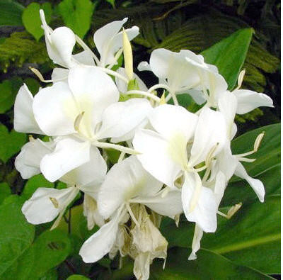 Hedychium Essential Oil - Sunrise Botanics