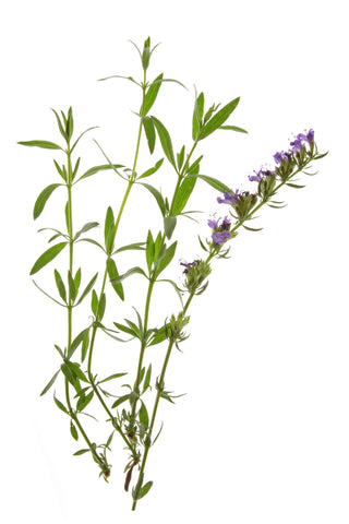 Hyssop Essential Oil (Slovenia) - Sunrise Botanics