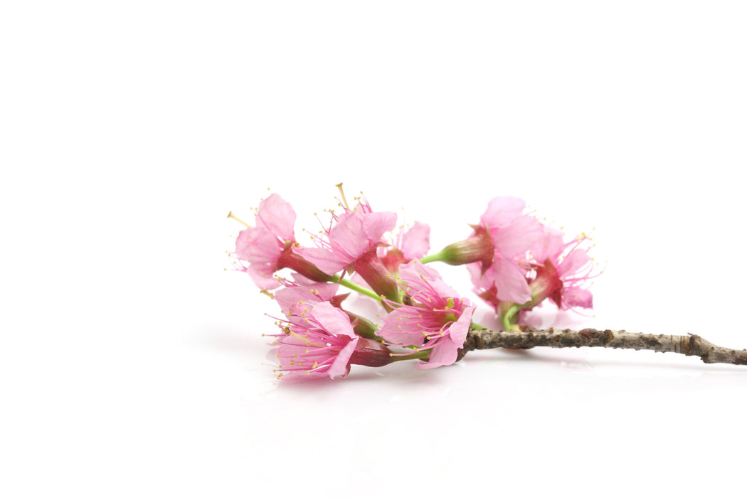Japanese Cherry Blossom Fragrance Oil - Sunrise Botanics